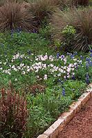 Oenothera speciosa white evening primrose in wildflower meadow garden with Muhlenbergia lindheimeri Muhly grass