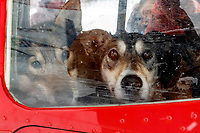 Dropped dogs look out the window of Wes Erb's plane at the ghost-town checkpoint of Iditarod as they get ready for a flight back to McGrath on Saturday, March 10th during the 2018 Iditarod Sled Dog Race -- Alaska<br /> <br /> Photo by Jeff Schultz/SchultzPhoto.com  (C) 2018  ALL RIGHTS RESERVED