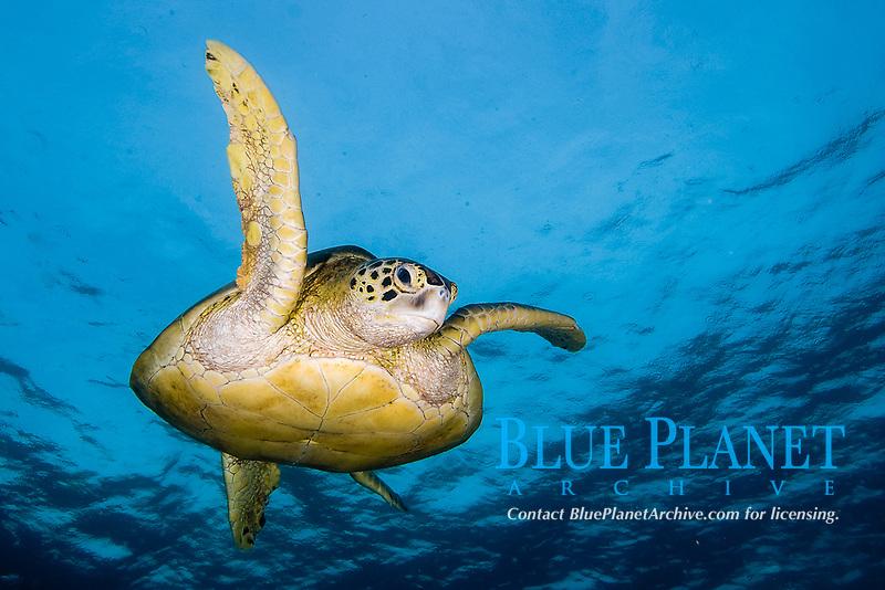 Green sea turtle, Chelonia mydas, Sipadan Island, Malaysia.