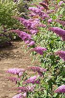 Butterfly Bush Buddleja davidii 'Pink Delight'