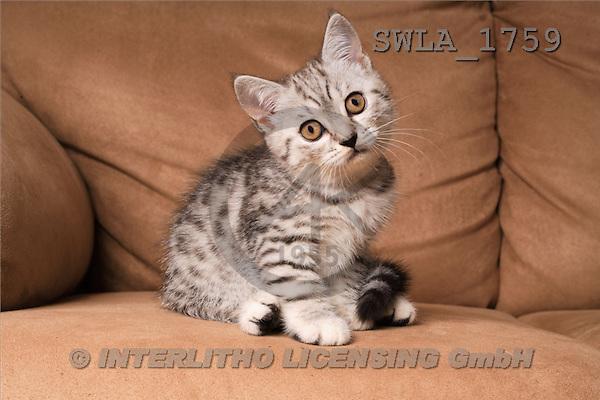 Carl, ANIMALS, photos, kitten, sofa(SWLA1759,#A#) Katzen, gatos