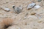 Wild snow leopard (Panthera uncia)(sometimes Uncia uncia) crouching. Ladakh Range, Western Himalayas, Ladakh, India.