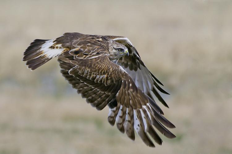 Rough-legged Hawk (buteo lagopus) flying over a field near Toefield, Alberta, Canada