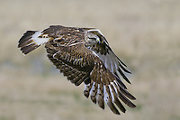 Rough-legged Hawk (buteo lagopus) flying over a field near Toefield, Alberta, Canada