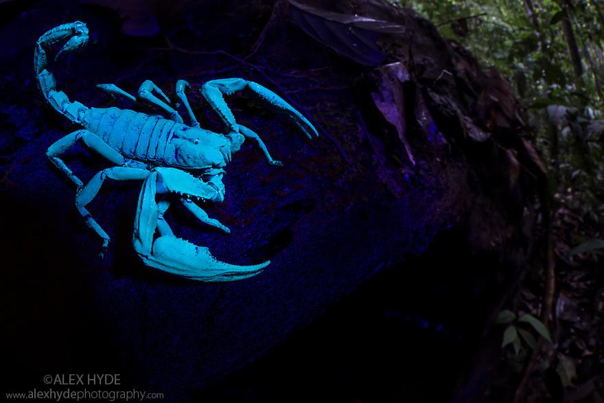 Giant Black Forest Scorpion (Heterometrus sp.), fluorescing under ultraviolet light. Danum Valley, Sabah, Borneo. June.