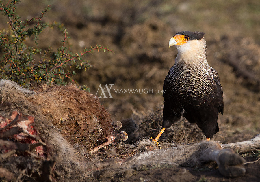 The Crested caracara is a common scavenger in Patagonia.