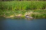 Cape San Blas crocodile on river bank.