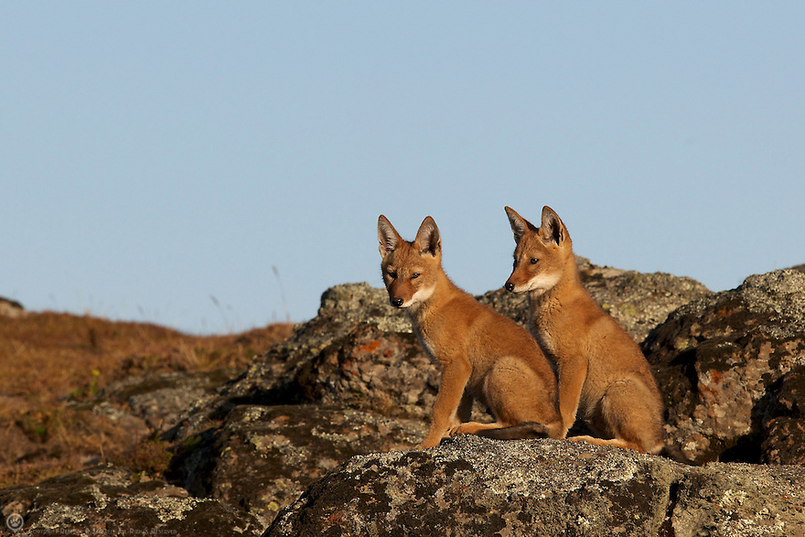 Siblings from the Meggity pack share a rare quiet moment on a ridge above their den.