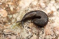 A Garden Slug (Arion hortensis) coiled on a rock.