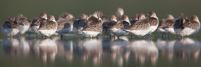 Flock of White-rumped Sandpipers (Calidris fuscicollis) sleeping, East Pond, Jamaica Bay Wildlife Refuge