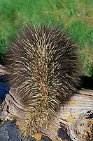 Young porcupine shows its quills in a defensive pose.  Western U.S.