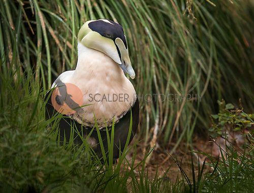 Male Common Eider standing in grass