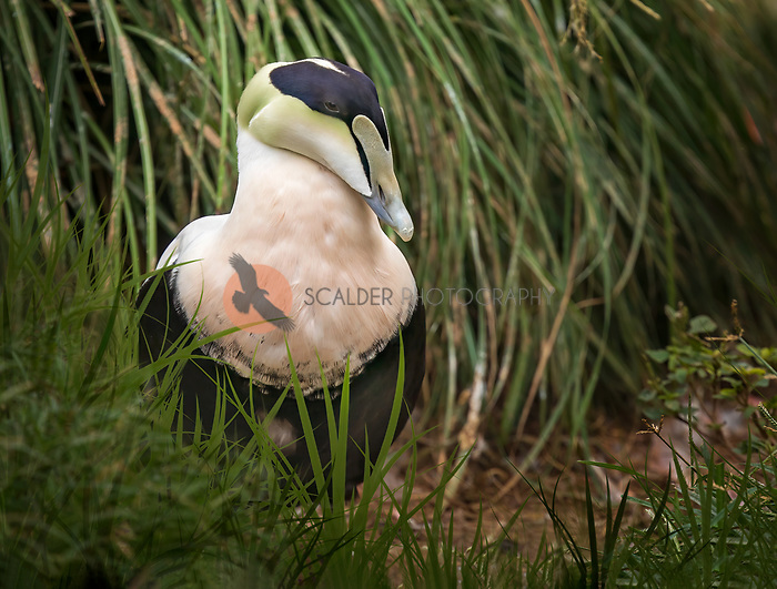 Male Common Eider standing in grass on bank of pond