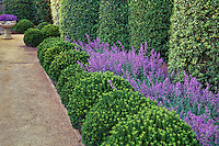 Euonymus japonicus 'Microphyllus' as small hedge with tall columns of Pittosporum tennifolium) with Catmint (Nepeta x faassenii 'Walkers' Low) in formal garden.