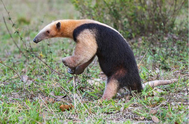 Southern tamandua (Tamandua tetradactyla) in defensive posture, Northern Pantanal, Mato Grosso State, Brazil, South America.