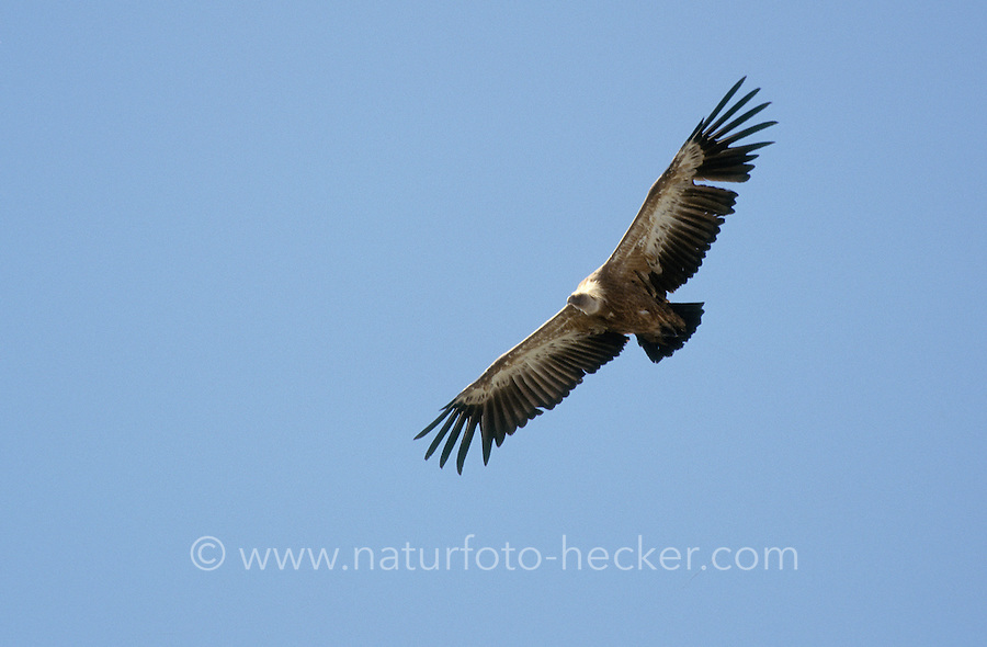 Gänsegeier, im Flug, Flugbild, fliegend, Gänse-Geier, Geier, Gyps fulvus, griffon vulture