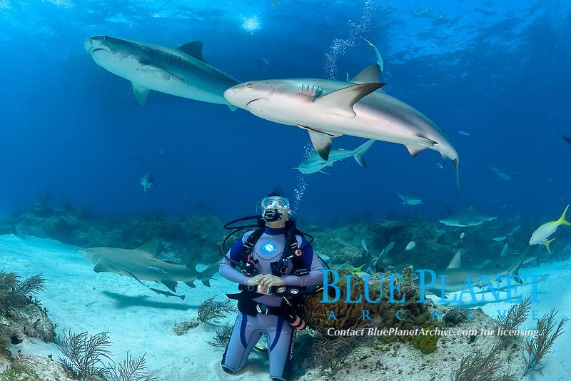 Caribbean Reef Sharks, Carcharhinus pereziii, and tiger shark, Galeocerdo cuvier, with scuba diver, Bahamas, Caribbean, Atlantic