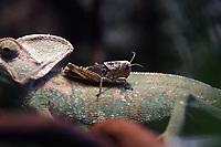 A Grasshopper on chameleon's back in Beijing Zoo.