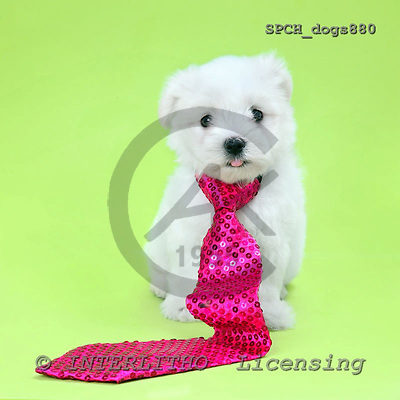 Xavier, ANIMALS, dogs, photos+++++,SPCHDOGS880,#a# Hunde, perros