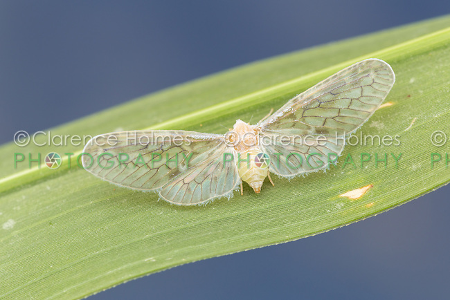 Derbid Planthopper (Paramysidia mississippiensis)