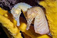 Lined seahorse (Hippocampus erectus) (c) (do)