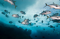 Trevally swimming through baitfish, Fernando de Noronha, Brazilian Coast, Atlantic Ocean, Brazil.