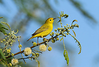 Yellow Warbler (Dendroica petechia), adult female, South Padre Island, Texas, USA