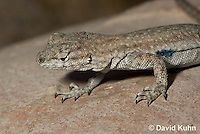 0613-1004  Side-blotched Lizard, Uta stansburiana (syn. Uta antiqua or Uta stellata)  © David Kuhn/Dwight Kuhn Photography