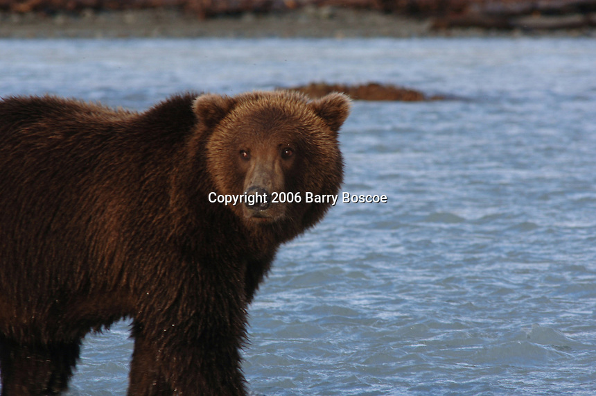 Grizzly Bear Fishing for Salmon in the Katmai National Park