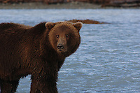 Grizzly and Black Bears, Alaska and California