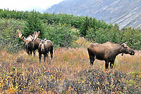 A bull moose follows two cows during the fall rut in Chugach State Park.