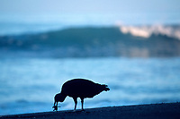 black vulture, Coragyps atratus, feeding on olive ridley sea turtle hatchling, Lepidochelys olivacea, Playa Ostional, Costa Rica, Pacific Ocean