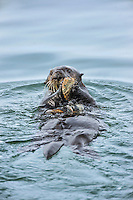 Southern sea otter (Enhydra lutris nereis) using tool--cracking open clam  with rock.  California Coast.