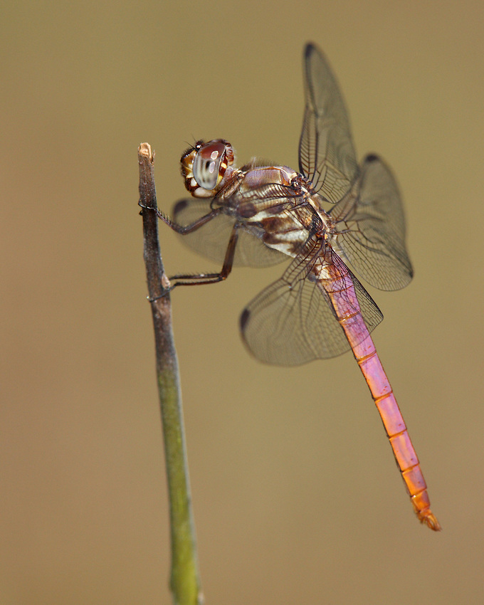 The Roseate Skimmer (Orthemis ferruginea) is a beautiful southern dragonfly.