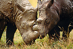 Sumatran rhinoceros, endemic to the rainforests of Indonesia. (captive)