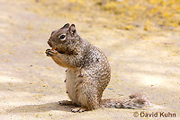 0613-1102  Rock Squirrel (Ground Squirrel) Eating Food, Pregnant Female, Spermophilus variegatus (Otospermophilus variegatus)  © David Kuhn/Dwight Kuhn Photography