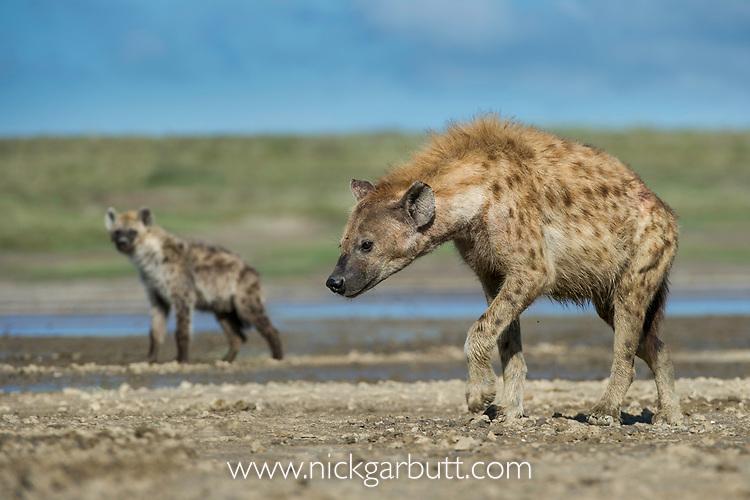 Adult spotted hyena (Crocuta crocuta) walking along the shore of a soda lake. Short grass plains near Ndutu,  Ngorongoro Conservation Area / Serengeti Tanzania.