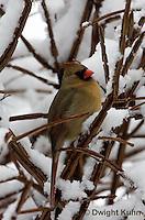 1J06-515z  Northern Cardinal female in winter, Cardinalis cardinalis