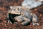 American Toad facing 45 degrees to camera, one eye partially closed.