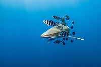 oceanic whitetip shark, Carcharhinus longimanus, The Brothers, Brother Islands, aka El Ikhwa Islands, Egypt, Red Sea, Indian Ocean