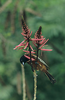 Orchard Oriole, Icterus spurius, male feeding on Coral Bean Blossom(Erythrina herbacea), South Padre Island, Texas, USA