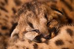 Mountain Lion (Puma concolor) kitten sleeping in den, Santa Cruz Puma Project, Santa Cruz Mountains, California