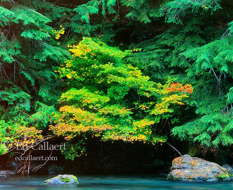 Vine Maple, Umpqua River, Umpqua Wild and Scenic River, Umpqua National Forest, Oregon