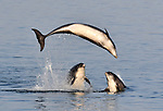 Dolphin leaps up in to air as it shows off to friends by Simon James