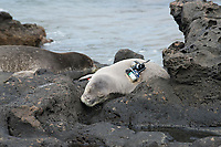 Hawaiian monk seals, Neomonachus schauinslandi, Critically Endangered endemic species, resting on rocks near shoreline; seal on right carries a Crittercam and tracking instrumentation attached to it the day before; west end of Molokai, Hawaii, photo taken under NOAA permit 10137-6, Ho ike a Maka Project