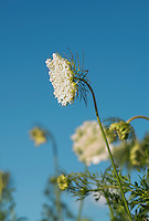 Queen Anne's lace flower, Daucus carota