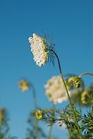 Queen Anne's lace flower, Daucus carota
