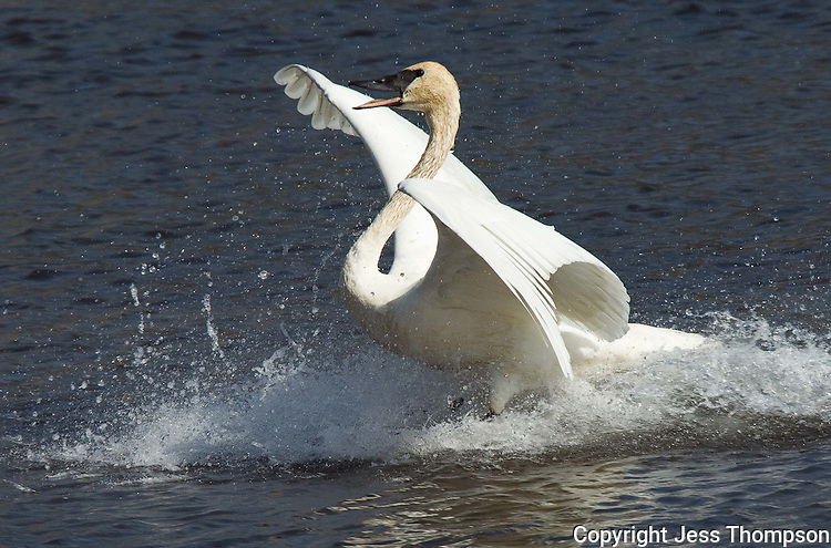 Trumpeter Swan lands in water in Jackson Hole, Wyoming at the National Elk Refuge.