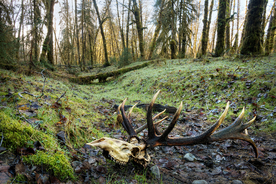 Skull of bull elk in natural opening of temperate old-growth forest near Queets River, Queets rainforest, Olympic National Park, Jefferson County, Washington, USA