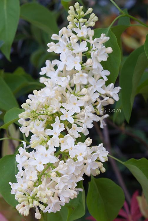 Yellow Lilac Syringa vulgaris 'Primrose', pale yellow with yellow center